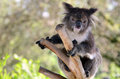 Koala sit on an eucalyptus tree Royalty Free Stock Photo
