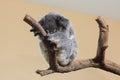 Koala sleeping singapore zoological gardens Royalty Free Stock Photos