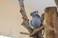 Koala sleeping singapore zoological gardens Stock Image