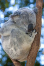Koala sleeping in a tree Royalty Free Stock Photo