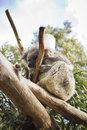 Koala sleeping a on a tree Royalty Free Stock Photography