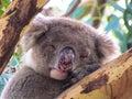 Koala sleeping on a tree Stock Image