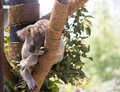 Koala sleeping in a tree bear shady Stock Photos
