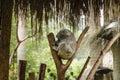Koala sleeping on the tree,lovely baby Stock Images