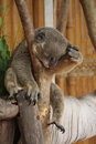 Koala sleeping in zoo on the branches the of thailand Royalty Free Stock Image