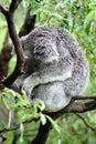 Koala snoozing in a tree Stock Photos