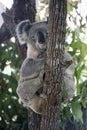Koala at the top of an Australian gum tree. Royalty Free Stock Photo
