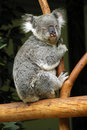 Koala on tree Royalty Free Stock Photos