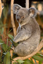 Koala on a tree Royalty Free Stock Image