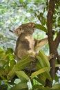 Koala in tree. Royalty Free Stock Photo