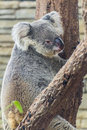 Koala in tree chiangmai zoo thailand northen Royalty Free Stock Photos