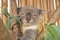 Koala on the tree Royalty Free Stock Photo