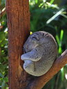 Koala in tree curled up close of a silver grey sleeping a at taronga zoo sydney Royalty Free Stock Images