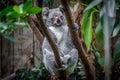 Koala on a tree Royalty Free Stock Photo