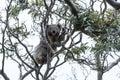 Koala in tree Royalty Free Stock Photo