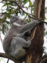 Koala in a tree phascolarctos cinereus an eucalyptus on kangaroo island australia Royalty Free Stock Photos