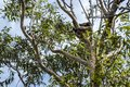 Koala in the tree relaxing and sleeping Royalty Free Stock Photo
