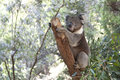 Koala on a tree trunk Stock Photography