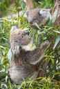 Koala with young eating gum leaves in victoria australia Stock Photography