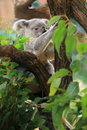Koala the young sitting on the tree Royalty Free Stock Photos