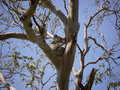 Koalas in a tree koala phascolarctos cinereus an eucalyptus on kangaroo island australia Stock Photos