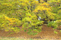 Kobus magnolia magnolia kobus view of becoming with yellow falling leaves during fall season Stock Photography