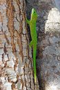 Koch s giant day gecko phelsuma madagascariensis kochi kocch it is a diurnal and typically inhabits tree Stock Photography