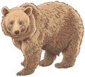 Kodiak bear isolated vector illustration Stock Photography