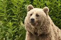 Kodiak bear portrait of a ursus arctos middendorffi Stock Photos