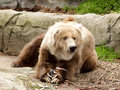 Kodiak Bear and prey Royalty Free Stock Image
