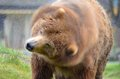 Kodiak Bear shaking water off Royalty Free Stock Photography