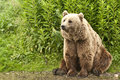Kodiak bear ursus arctos middendorffi sitting on his hind legs at the waterside Stock Photography