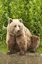 Kodiak bear ursus arctos middendorffi sitting on his hind legs at the waterside Royalty Free Stock Images