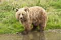 Kodiak bear ursus arctos middendorffi at the waterside Royalty Free Stock Photo