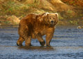 Kodiak brown bear in karluk river Stock Photo