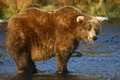 Kodiak brown bear in karluk river Royalty Free Stock Photography