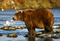 Kodiak brown bear in karluk river Stock Photos