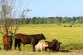 Koeien in een weiland Royalty-vrije Stock Fotografie