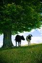 Koeien onder boom Stock Foto's