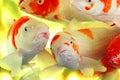 鲤鱼五颜六色的koi 免版税图库摄影