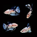 Koi Betta Male on black background. Beautiful fish. Swimming flutter tail flutter. Royalty Free Stock Photo