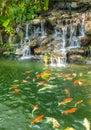 Koi carp fishes in the pond of Phuket Botanical Garden Royalty Free Stock Photo