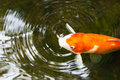 Koi carp a golden creating a bubble and circles in a pond Stock Image