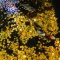 Koi Carp, Japanese big fish, underwater in garden. Royalty Free Stock Photo