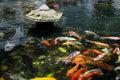 Koi Carp in pond Royalty Free Stock Photo