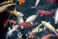 Koi carps close up detail Royalty Free Stock Photography