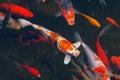 Koi carps fish japanese swimming cyprinus carpio beautiful color variations natural organic Stock Images