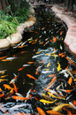 The koi carps in a rivulet Stock Images