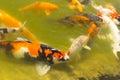 Koi carps swimming in the pond Stock Photos