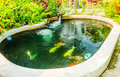 Koi fancy carp cyprinus carpio haematopterus swim in pool Royalty Free Stock Images